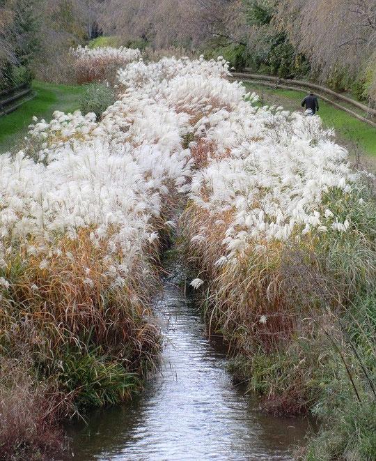 11月14日(2013) 野川の秋景色:小金井新橋付近。繁っているのは、ススキでしょうか、オギでしょうか、はたまたアシでしょうか?詳しい方はいらっしゃいますか