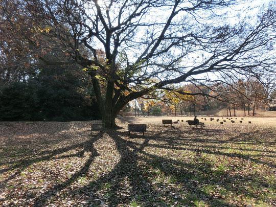 12月10日(2017)葉が落ちたエノキ:深大寺城跡にて。神代植物公園の分園、水生植物園の小高い場所に戦国時代に造られた城跡があります。時間が止まったような不思議な空間。