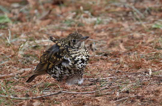 ●北風にあおられるトラツグミ。羽毛がマフラーのようにも見えます
