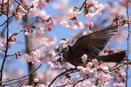 ●桜(オオカンザクラ)の蜜を吸うヒヨドリ