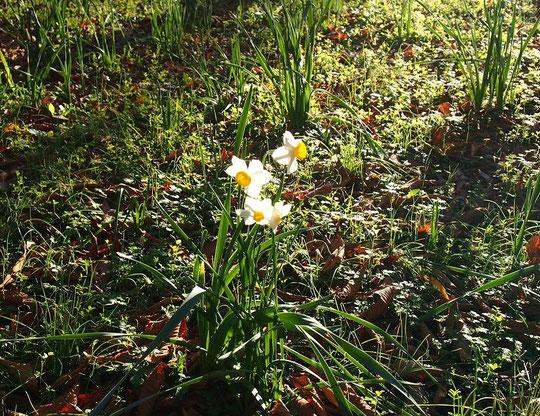 12月9日(2015)  12月の水仙(スイセン):12月5日、野川公園の自然観察園に早咲きの水仙が咲いていました