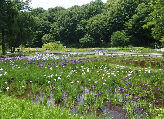 6月3日(2018) 花菖蒲田(神代植物公園分園の水生植物園):江戸時代から戦前にかけて作出された江戸系花菖蒲(江戸古花)をみることができます。