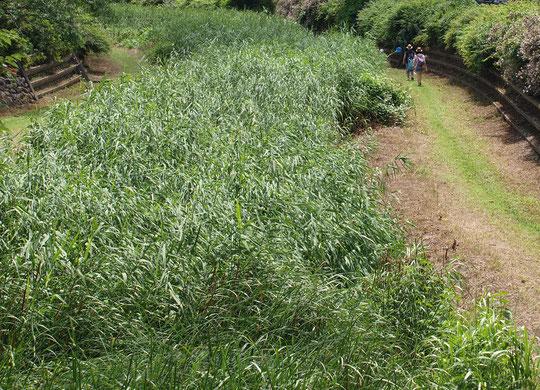 7月10日(2016) 夏草が生い茂った野川:アシでしょうか。野川をすっかりとおおっていました。小金井市の天神橋の上から