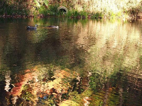 12月5日(2015) 幻想的な鏡池(野川公園・自然観察園)