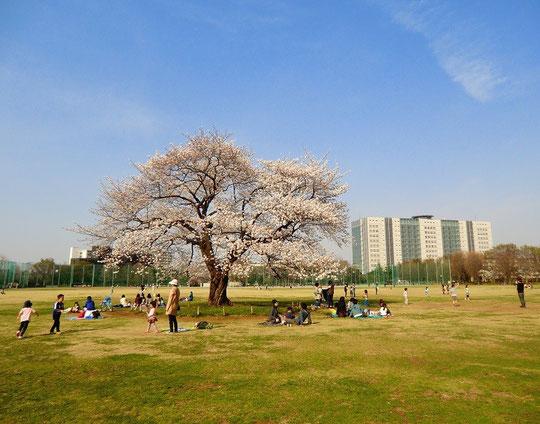●武蔵野中央公園に到着。広々としたはらっぱで子どもが元気に遊んでいました。桜も満開