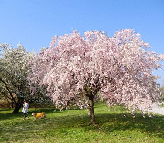 4月10日(2014) 枝垂桜とワンちゃん:武蔵野の森公園にて