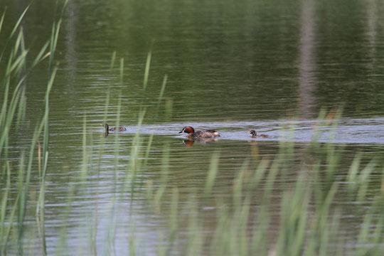●初投稿のお写真。親子で泳ぐカイツブリ。2013年4月30日のご投稿です。