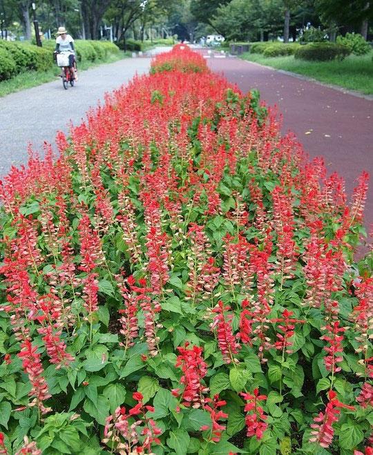 8月20日(2014) サルビアの咲く道:小金井公園正面入り口から園内に続く道