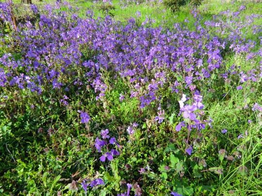 紫だいこんの花がきれいに咲いていました