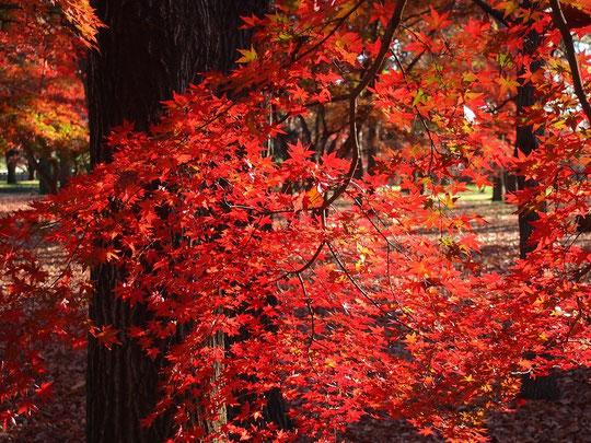 12月18日(2015) 雑木林で見つけた紅葉:都立野川公園にて