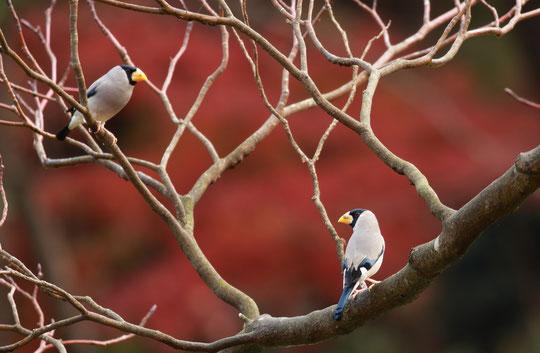 ●モミジを背景にした2羽のイカル