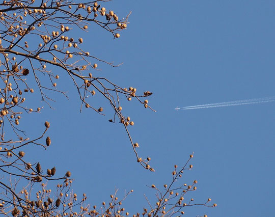 2月3日(2015) ユリノキの実と飛行機の軌跡:野川公園にて