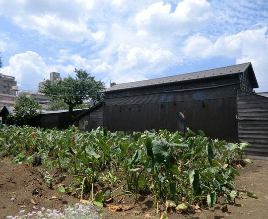 8月19日(2012) サトイモ畑と倉庫(JR中央線武蔵境駅北口近く)