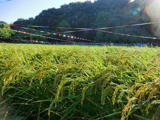 8月30日(2012) 稲穂(ほたるの里、ちびっこ体験農場:三鷹市)