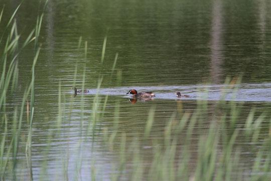 4月30日(2013) カイツブリの親子(武田さんからのご投稿:武蔵野の森公園で撮影)カイツブリ:カイツブリ目、カイツブリ科、カイツブリ属、全長30センチ足らずの小さくて丸い、かわいらしい水鳥。足を櫂のように使い潜る
