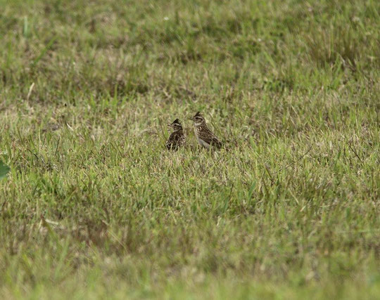 ●2羽のヒバリ:調布飛行場の中にいる鳥をフェンス越しに撮影(6月7日)