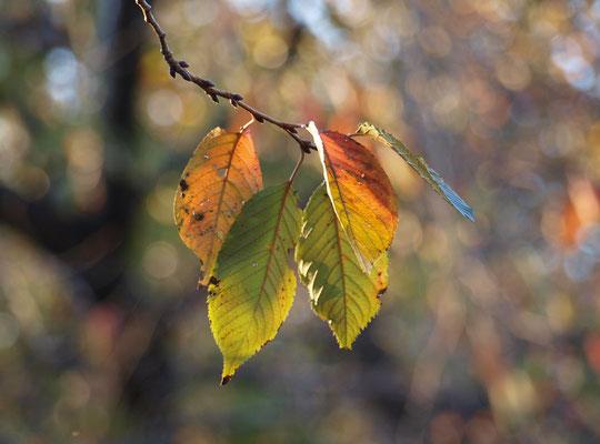 ●ラリーポイントJ「調布のやさい畑」の近くの野川遊歩道にて。ソメイヨシノの葉っぱです。