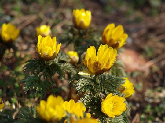 2月27日(2016) 春を呼ぶ福寿草:パラボラアンテナのような花の形は、中心部に光の熱を集め、昆虫を誘う仕掛けになっているそうです。神代植物公園にて