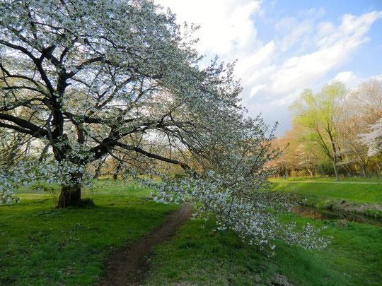 4月6日(2014) 桜の木の下の道(野川遊歩道の野川公園側)