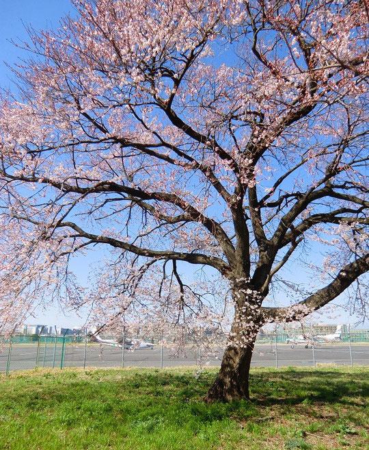 3月19日(2013) 桜の開花(調布飛行場の側道から撮影)