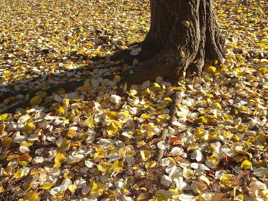 12月13日(2012) 水木(ミズキ)の落ち葉(野川公園で)