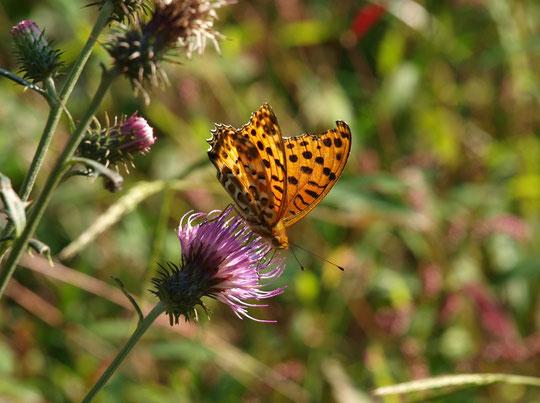 ●アザミに蝶:野川公園・自然観察園。ツマグロヒョウモンがノハラアザミにとまっていました。