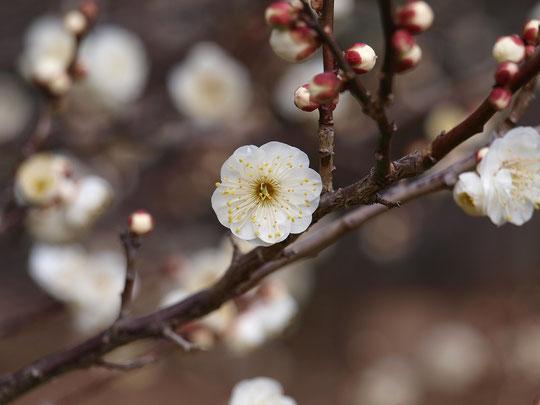 2017年1月14日 梅が咲きました♪ とても寒い日の散歩でも、梅の花のよい香りに出会うと心がほっこりするものです。野川公園の梅林で白梅が咲き始めました