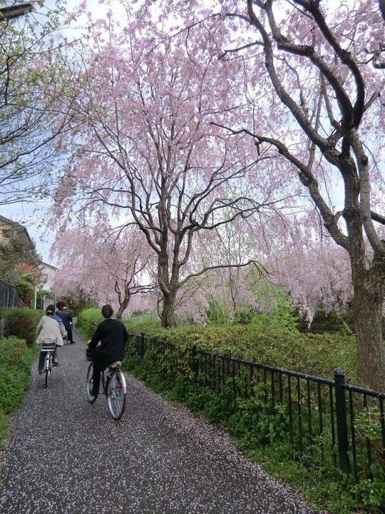 枝垂れ桜の咲く道