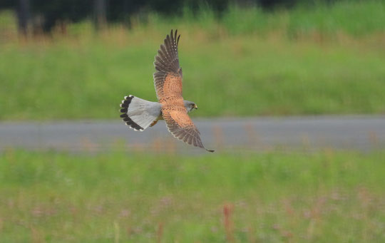 ●チョウゲンボウ(ハヤブサ目、ハヤブサ科。全長33㎝~38㎝。繁殖期にはキー、キーなどと鳴く:日本野鳥の会ホームページの情報、以下同)
