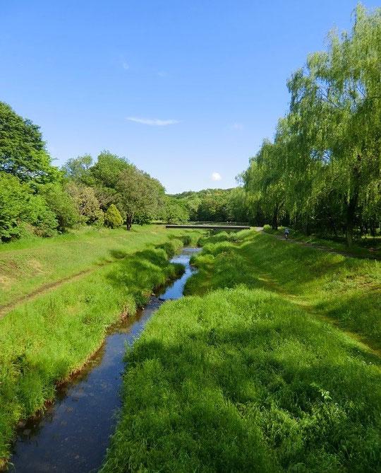 5月12日(2013) 新緑の野川遊歩道(野川公園、自然観察センター近くの桜橋の上から)