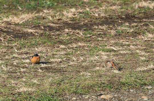 ●見つめ合うジョウビタキ。あるいは、対峙するジョウビタキ。左がオス、右がメス。