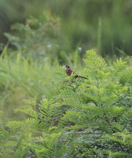 ●武田さんが6月25日に撮影された写真。武蔵野の森公園・修景池の近くニセアカシアでさえずるホオジロ。