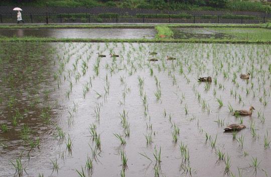 6月8日(2014) 雨の大沢田んぼ(ほたるの里:三鷹市)