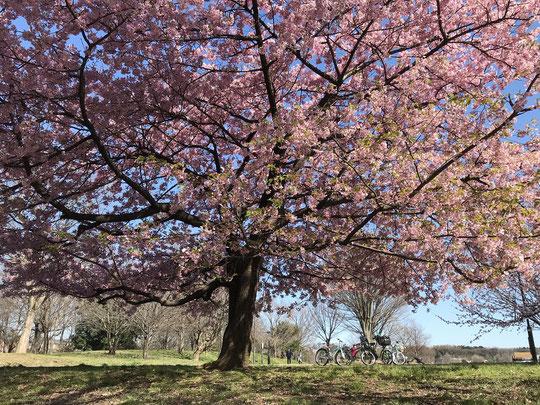 3月3日(2020) 早咲きの桜:好天に恵まれた日、武蔵野の森公園では、カワヅザクラ(河津桜)が満開でした。武蔵野の森公園は、調布飛行場が隣りにある空の広い公園です。