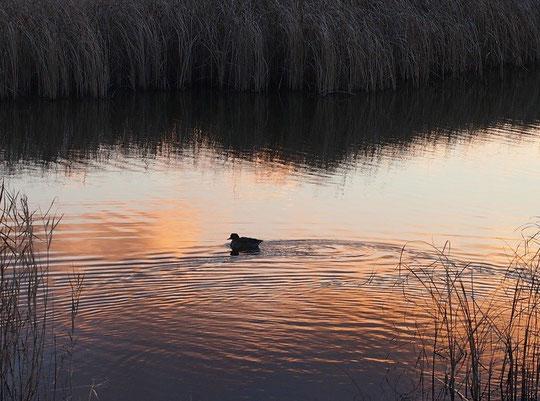 1月8日(2015) 夕陽に映える池と鴨:武蔵野の森公園の修景池にて