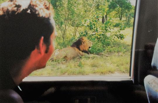 Krüger Nationalpark selbstfahren: Löwen am Straßenrand