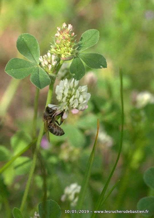 Insecte Apis mellifera sur fleur de Trifolium repens Cévennes