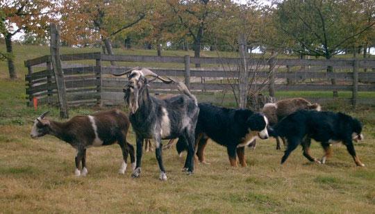 Quelques unes de mes chèvres et mes deux Bouviers Bernois de l'époque.