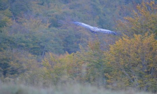 Vol de vautours dans la vallée de Bézu