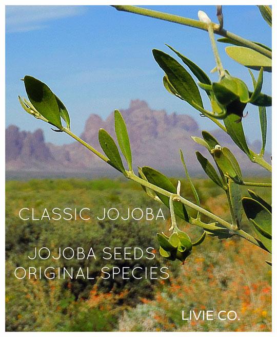 CLASSIC JOJOBA ♥ JOJOBA SEEDS ORIGINAL SPECIES [with Orange Desert Globemallow, Desert Marigold Native Wildflower and Brittlebush.]