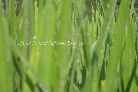 ♡ りびえ米 稲の天使