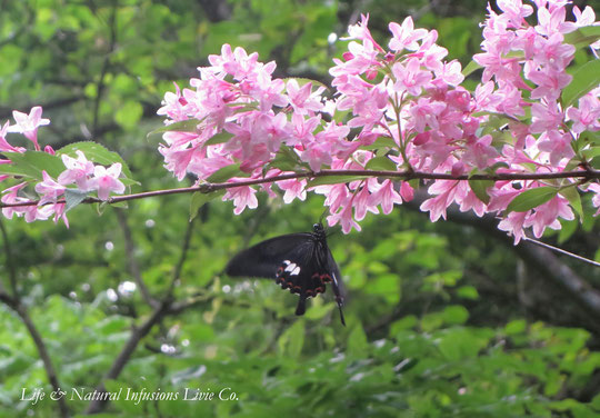 ♡ 蝶と自生卯木の花 別名: ウノハナ(卯の花) 卯木花言葉: 古風、風情、秘密、深い思い出、秘めた恋、夏の訪れ、純白