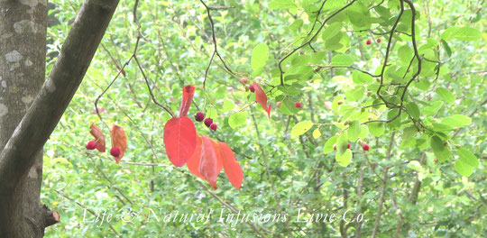 ♡ June berry fruit ❀ジューンベリー花言葉:  穏やかな笑顔