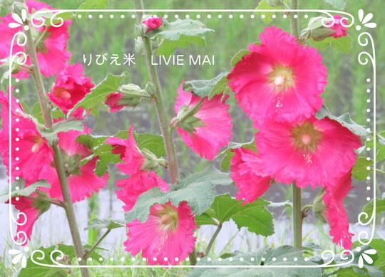 りびえ米と立葵