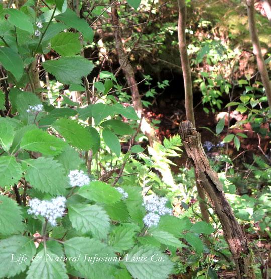 ♡ 森林浴 LIVIE FOREST THERAPY コアジサイ、小紫陽花(左下) 学名: Hydrangea hirta 日本固有種 落葉低木 ❀花言葉: 忍耐強い愛