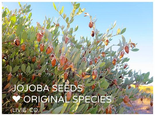 ♡ ホホバ自生地アリゾナ州ハクアハラバレー原産原種ホホバ(純粋種Sayuri原種ホホバ)