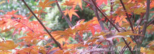 ♡紅葉 和名: カエデ(楓) 学科: Acer spp. 英名: Maple 原産地: アジア、ヨーロッパ、北アフリカ、北アメリカ ❀花言葉: 調和 蓄え 遠慮