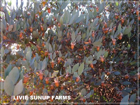 ♡ 純粋種Sayuri原種ホホバが今年も沢山実りました。高品質なアリゾナ州原産ホホバオイルを是非お試し下さい。