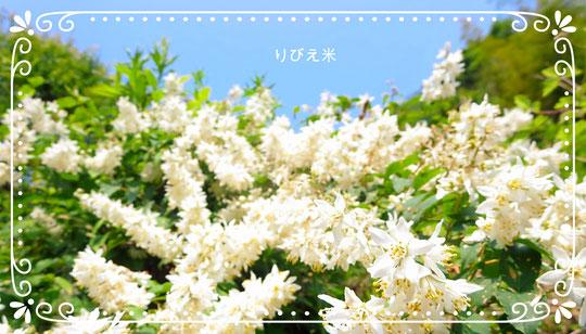 卯木(うつぎ)の花(5月)