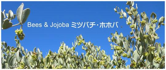 ♡ ホホバの原産地アリゾナ州南西部ハクアハラバレーにて褐藻のオーガニック栽培による原種ホホバ(純粋種Sayuri原種ホホバ 雄・King)とミツバチ